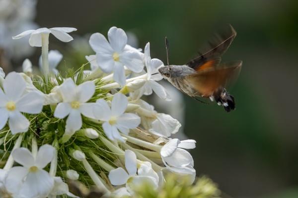 Hummingbird Hawkmoth by trebork