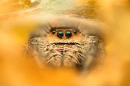 Phidippus regius - Female Jumping Spider