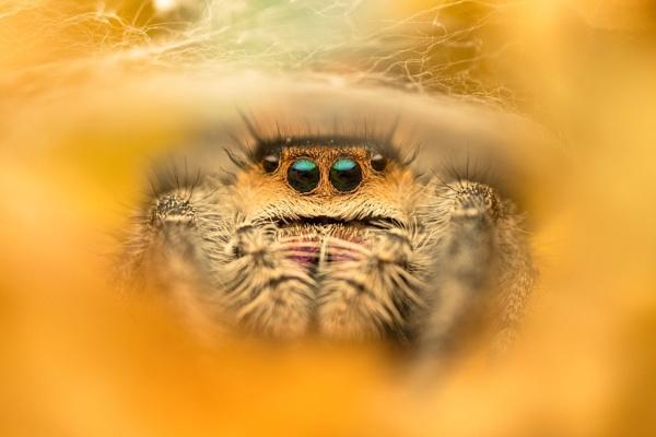Phidippus regius - Female Jumping Spider by KTrueman