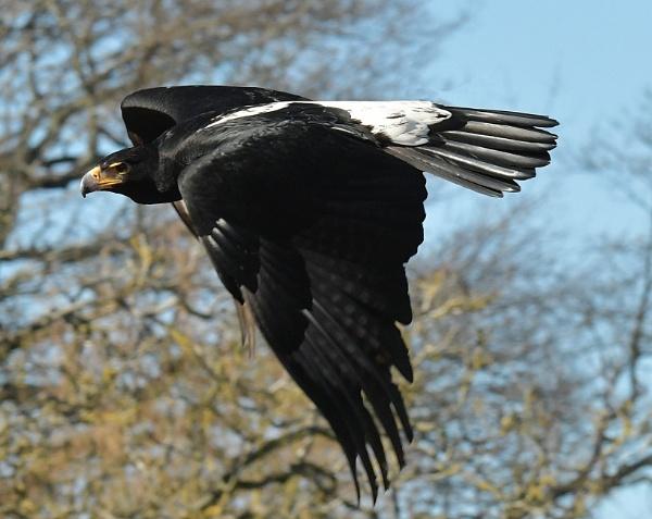 Black Eagle by nealie