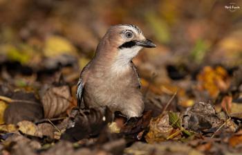 Autumnal Jay