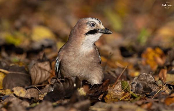 Autumnal Jay by mufftrix