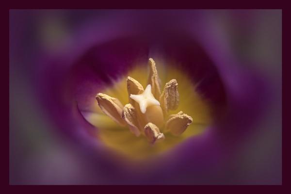 Early Tulip by deavilin