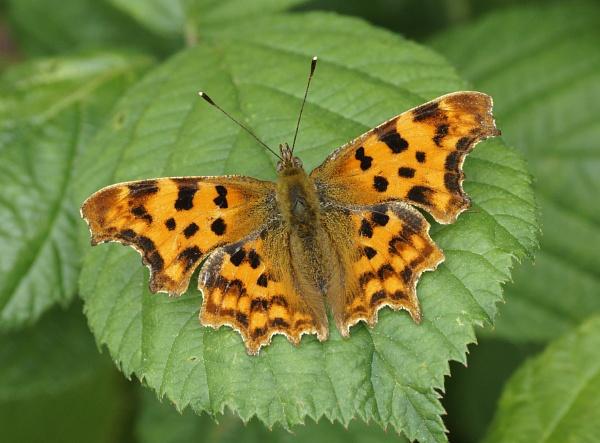 Comma Butterfly by Steveo28