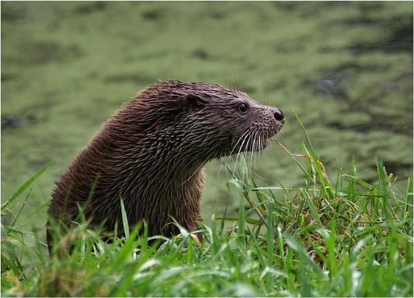Otter on Alert by johnriley1uk