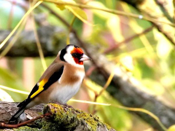 Goldfinch in the garden today by DerekHollis