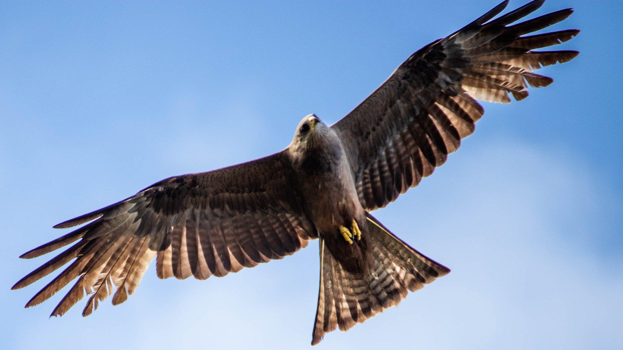 Yellow bill kite