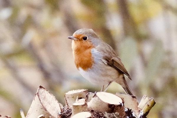 Robin by Lencollard