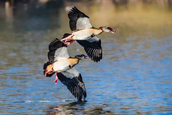 Wingmen oops wing geese