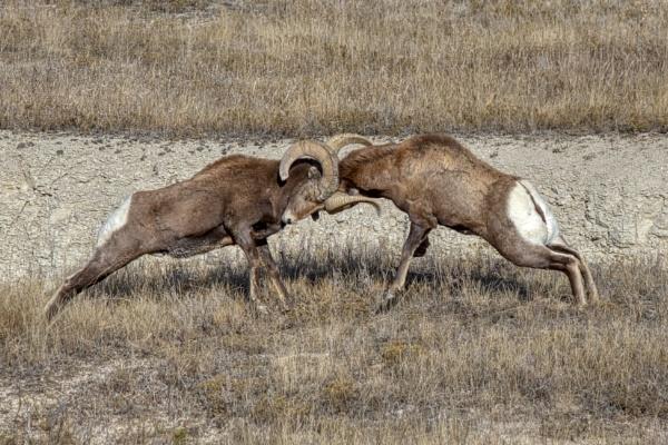 Bighorn Sheep Dispute by fotolooney