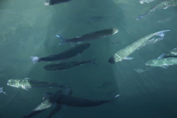 fish by chainshot
