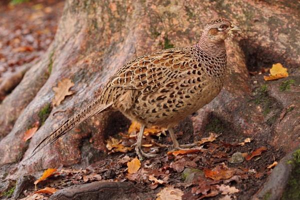 Pheasant by alfpics