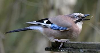 Jay Bird 1