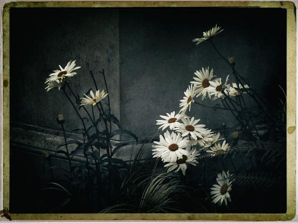 Michaelmas Daisies by BillEiffert
