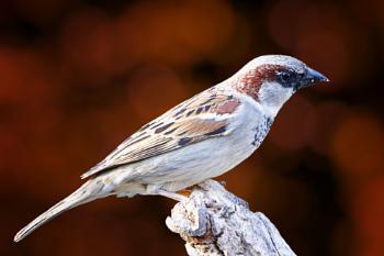 """Male Sparrow""."