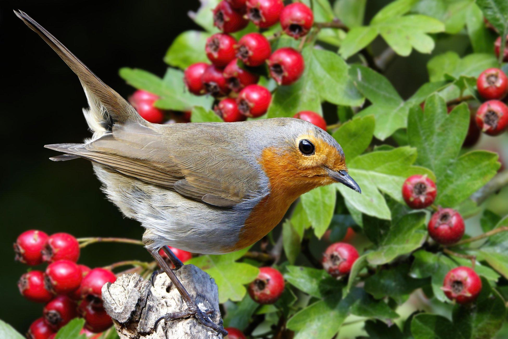 """Robin in the Hawthorn""."