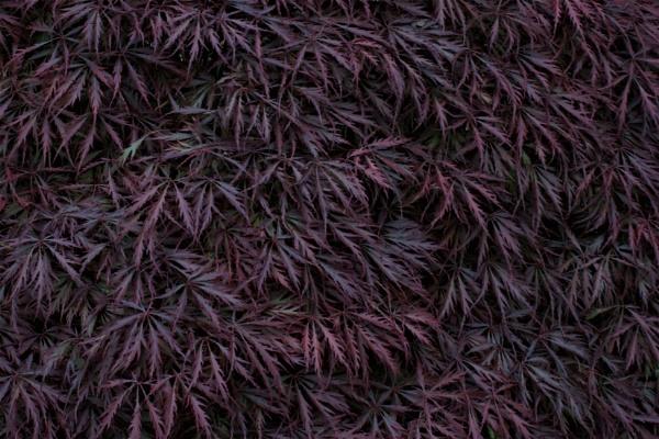 Purple leaves by PeterAS