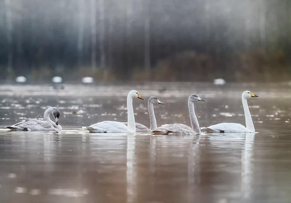 Whooper swans 2 in Espoo by hannukon