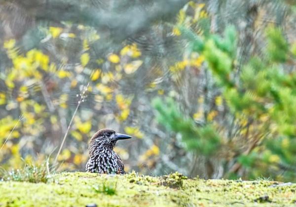 Spotted nutcracker in Sipoo by hannukon