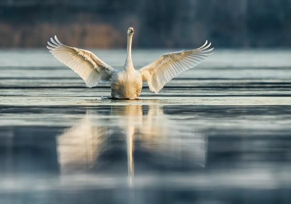 Whooper swan in Espoo by hannukon
