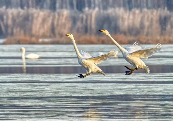 Whooper swans 3 in Espoo by hannukon