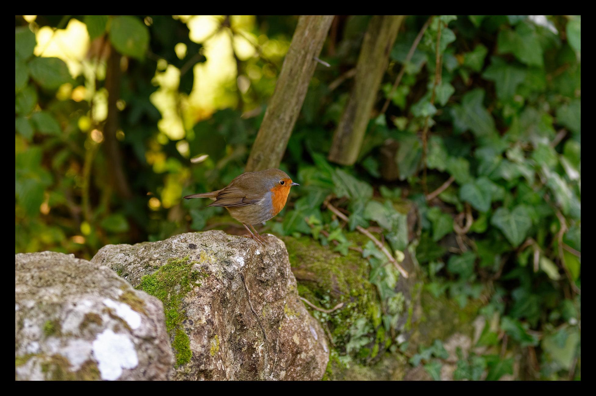 Robin on a wall.