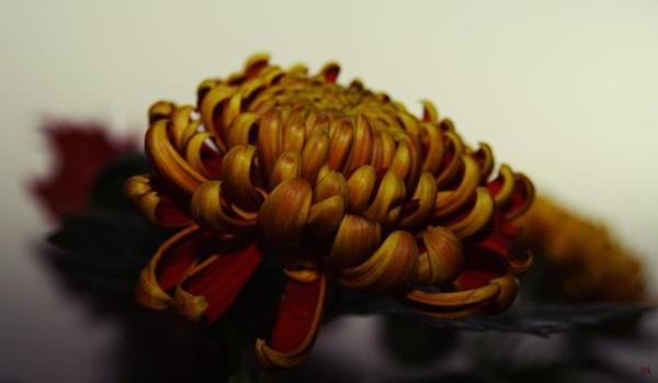 Chrysanthemum by HarmanNielsen
