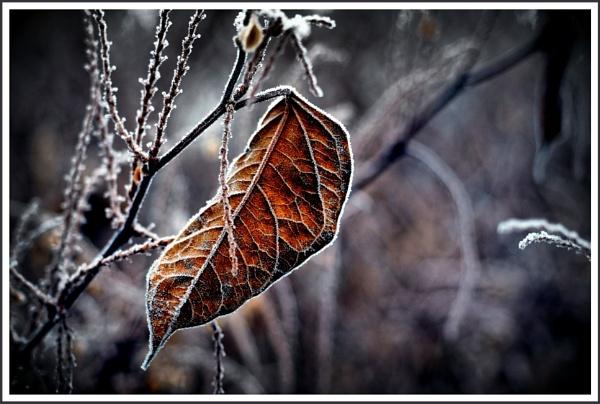 Frozen Leaf by kw