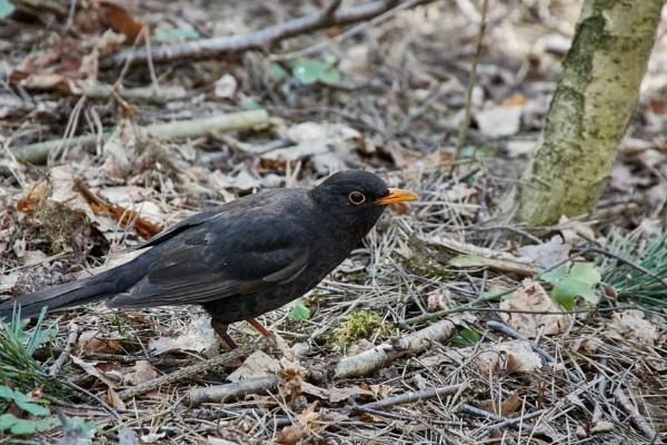 Common blackbird by LotaLota