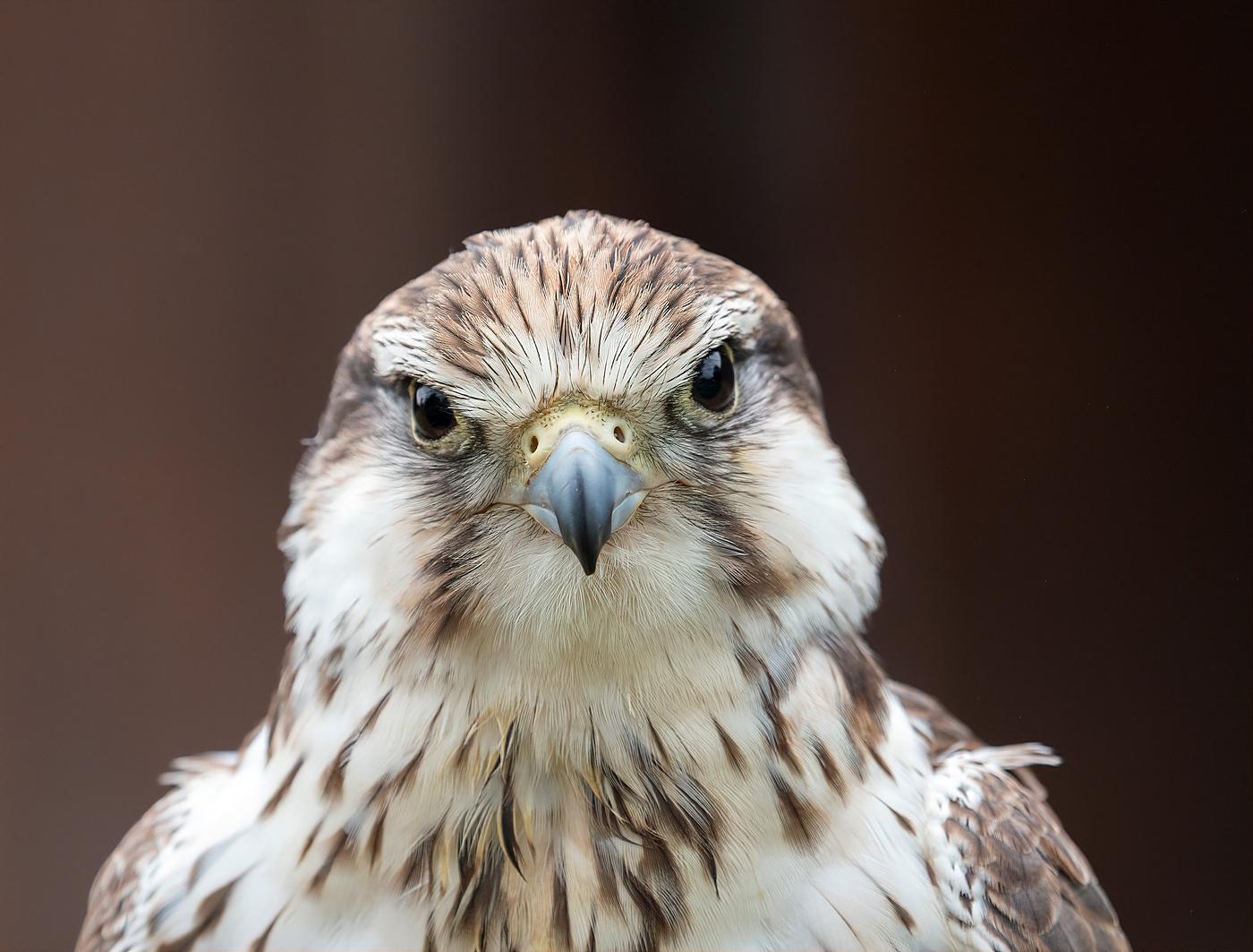 Lugger Falcon Portrait