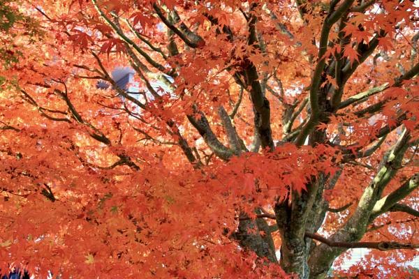 Big Leaf Maple by Bear46404
