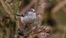 Long Tailed Tit by Mike_Smith