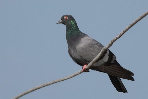 Pigeon by prabhusinha