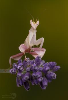 Orchid mantis on lavendar