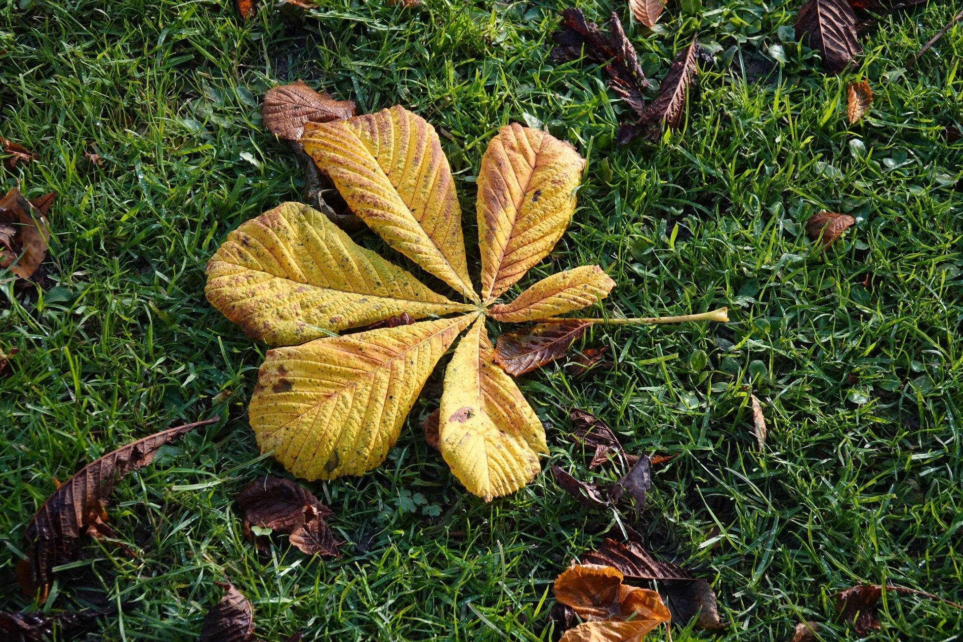 Chestnut leaf colours