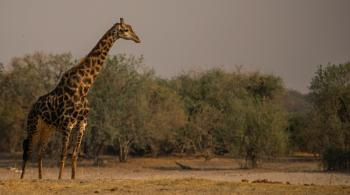 Giraffe and Acacias