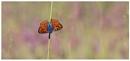 Purple Shot Copper by NigelKiteley