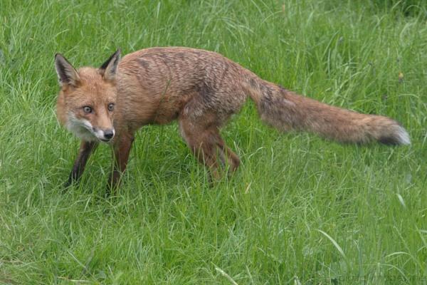 Fox by Alan_Baseley