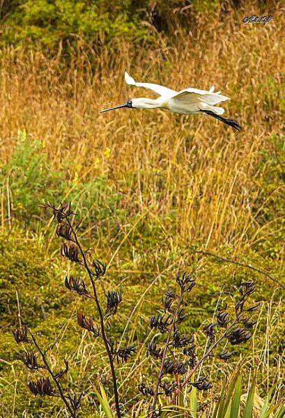 Royal spoonbill in flight  (6981-3) by paulknight
