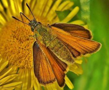 Butterfly - Large Skipper.