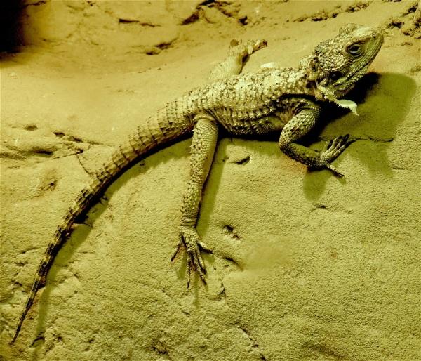 Lizard by ddolfelin