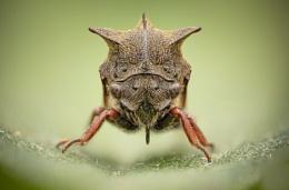 Tree Hopper - Centrotus cornutus