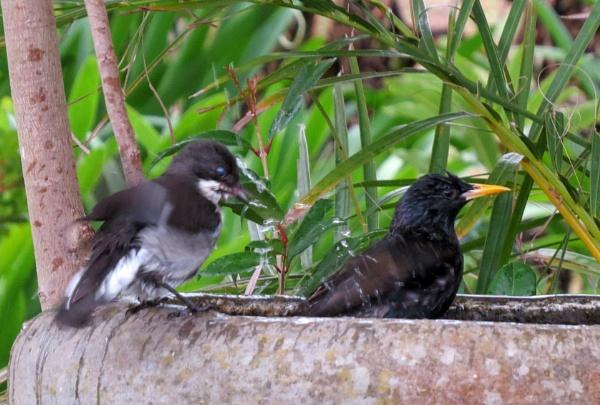 Pesky Starling by Hermanus