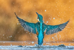 A dive for nothing   Kingfisher