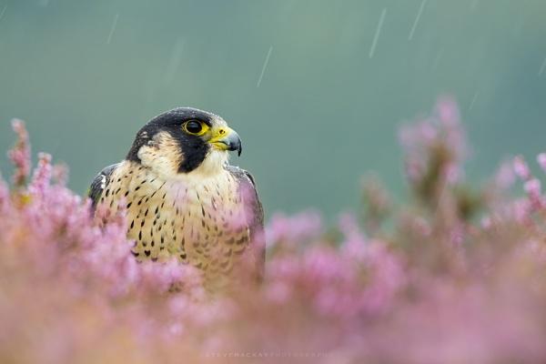 Peregrine Falcon by SteveMackay