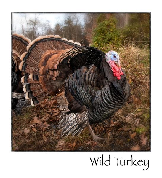 Wild Turkey by taggart