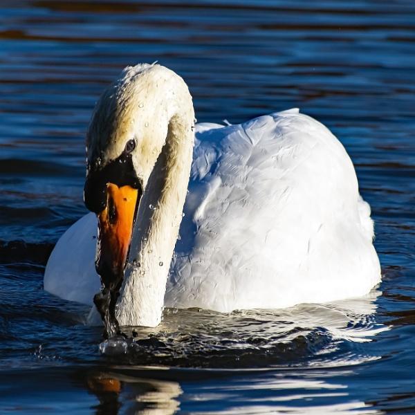 Swan emerging by Madoldie