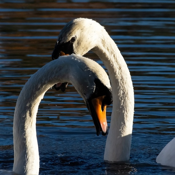 Two Swans by Madoldie