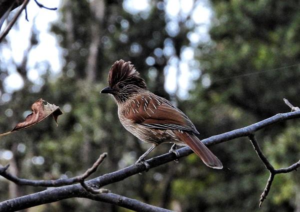 Himalayan bird by gautamc