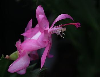 One Beautiful Christmas Cactus Plant Flower.